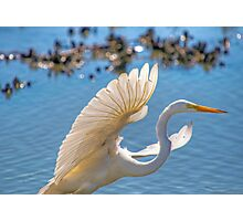 Egret Taking Off Photographic Print
