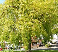 Weeping Willow by Jacqui1957