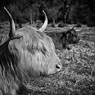 Highland Cattle by Patricia Jacobs CPAGB LRPS BPE4