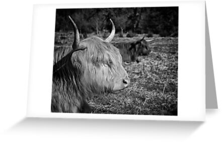 Highland Cattle by Patricia Jacobs CPAGB LRPS BPE3