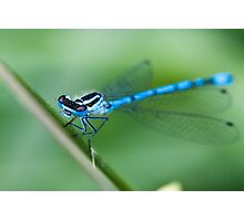 Common Blue Damselfly Photographic Print