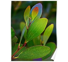 Acacia leaves- backlit Poster