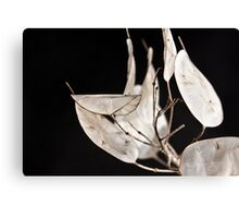 dried honesty Canvas Print