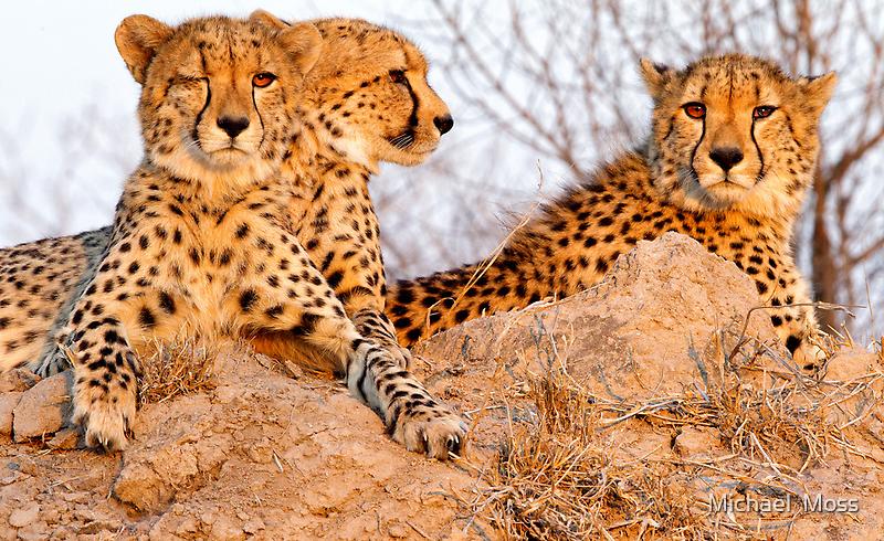 Do Cheetah Wink? by Michael  Moss