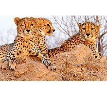 Do Cheetah Wink? Photographic Print