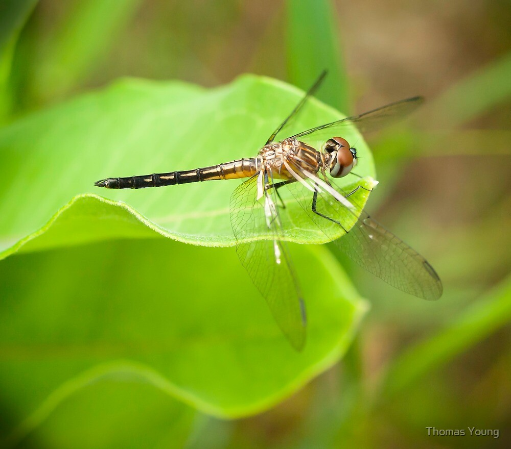 Dragon Fly Portrait by Thomas Young