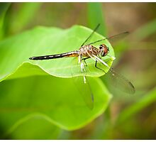 Dragon Fly Portrait Photographic Print