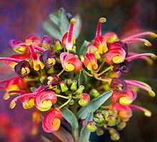 Fireworks - Grevillea, Australian Native Flower by Mark Richards