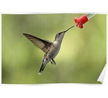 Female Ruby Throated Hummingbird Poster