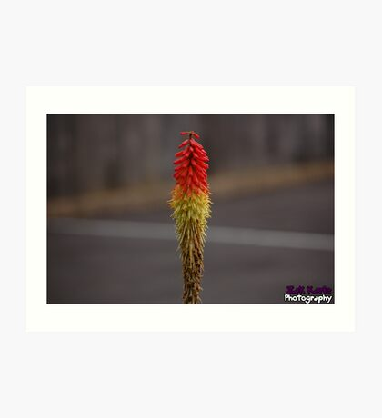 Red hot poker flower  Art Print