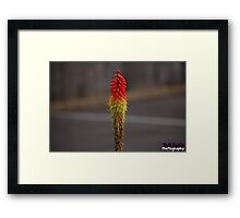 Red hot poker flower  Framed Print
