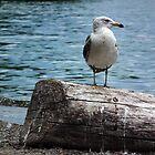 Gull On Log by BonnieToll