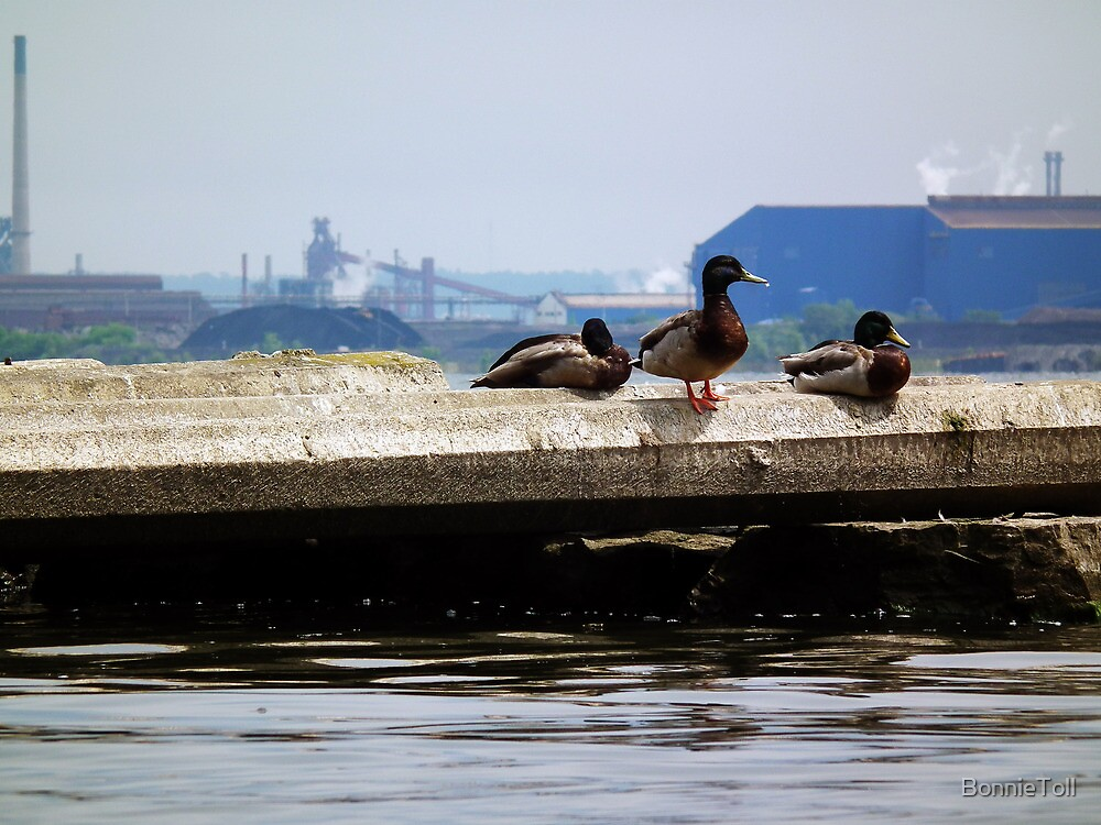 Urban Mallards  by BonnieToll