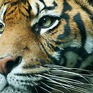 Tiger by Antoine de Paauw