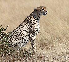 Looking About, Cheetah, Maasai Mara, Kenya by Carole-Anne