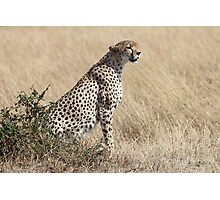 Looking About, Cheetah, Maasai Mara, Kenya Photographic Print