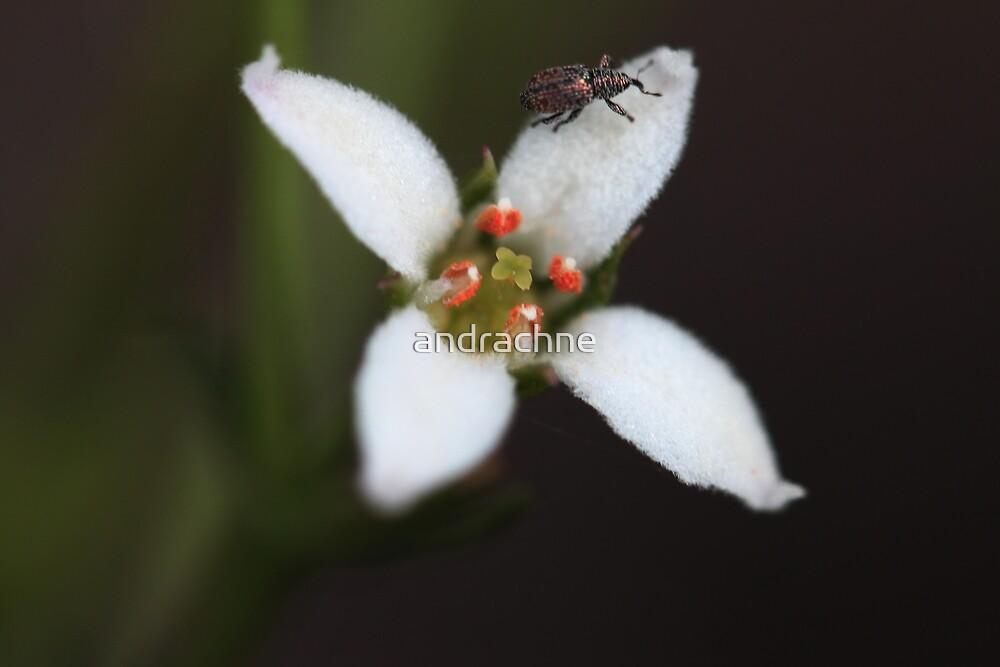 Zieria laxiflora  by andrachne