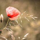 Poppy by lorrainem