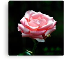 Pink Rose Close-up Poster Canvas Print