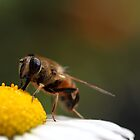 Bee in daisy by PhotoTamara