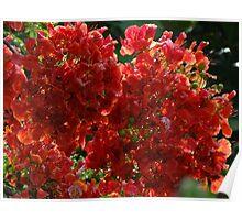 Blossoms Of Flamboyant - Flores De Flamboyant Poster