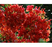 Blossoms Of Flamboyant - Flores De Flamboyant Photographic Print