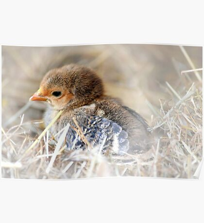 Brown baby chick Poster