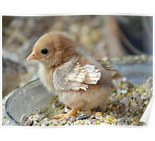 curly feathered chabo chick Poster