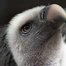 Ruppell's Vulture by Coyroy