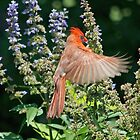 Cardinal Hovering the Texas Lilac by TJ Baccari Photography