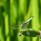vážka (dragon fly) by Phototeen