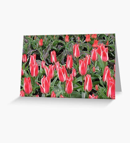 Stunning Pink Tulips - Keukenhof Gardens Greeting Card