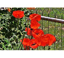 Poppies on the Fence Photographic Print