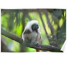 Cottontop tamarin Poster