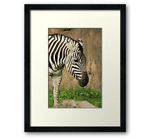 A Zebra's Buffet Line Framed Print