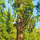 Giant redwood by EarthPhoenix
