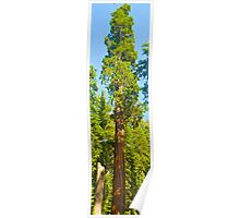 Giant redwood Poster