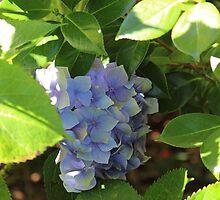 Hydrangea  by Leonie Morris
