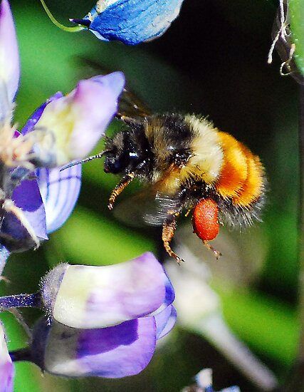 Bumblebee on Lupine by William Newland