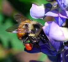 Bumble Bee on Lupine by William Newland