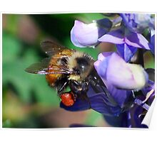 Bumble Bee on Lupine Poster