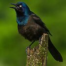 Common Grackle Puffed Out by Bill McMullen