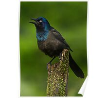 Common Grackle Puffed Out Poster