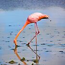 Galapagos Flamingo by Nick  Taylor