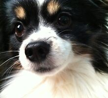 The Face of an Adorable Papillon by CrystalFanning