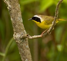 Uncommon Yellowthroat by Jeff Weymier