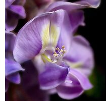 Intimate wisteria Photographic Print