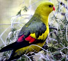 Regent Parrot  - male - Bellbrae Victoria by bekyimage