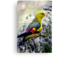 Regent Parrot  - male - Bellbrae Victoria Canvas Print