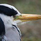 Grey Heron by David W Bailey